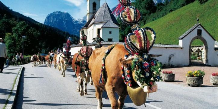 cows-alm-800x400