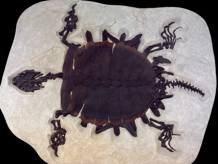 Fossil Butte turtle